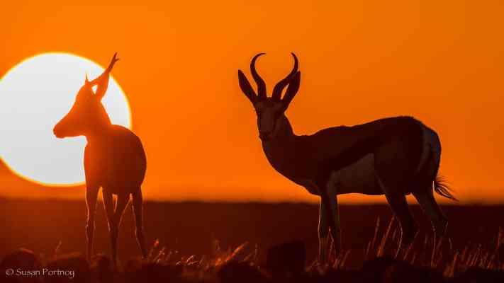 Springbok at sunset near Desert Rhino Camp, Namibia