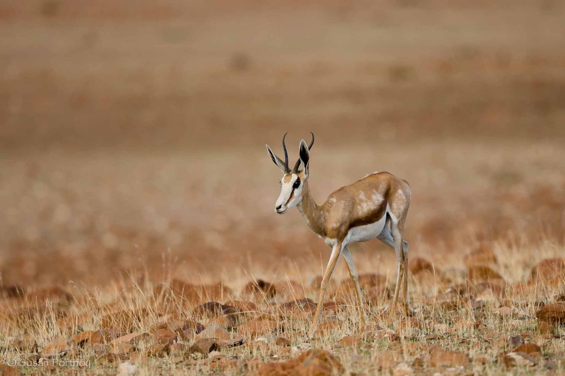 Sprinbok near Desert Rhino Camp in Namibia