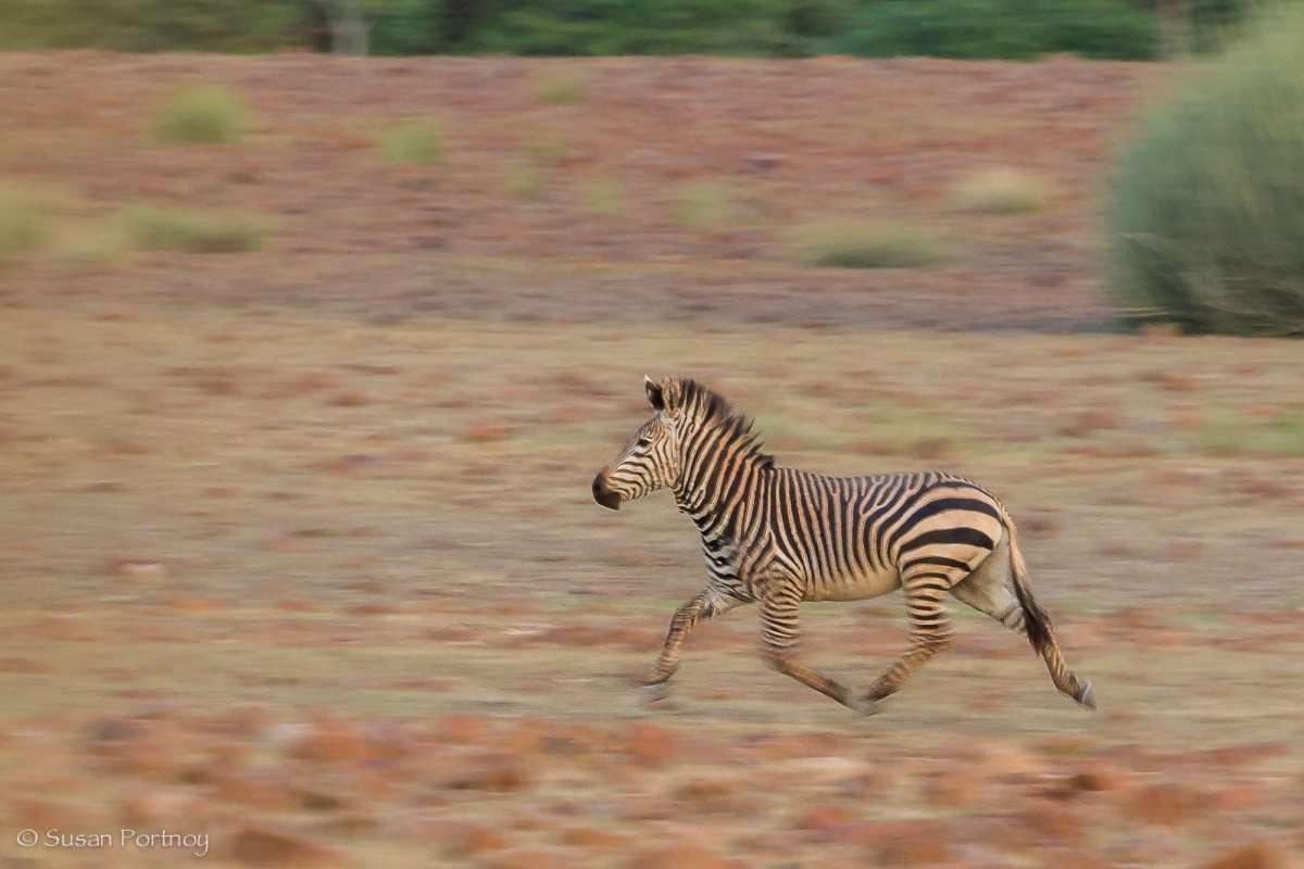 Hartmann's zebra trotting in Nambia near Desert Rhino Camp