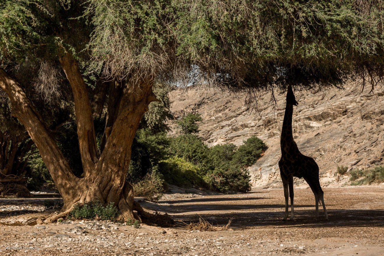 giraffe eats leaves under a tree near Skeleton Coast Camp in Namibia