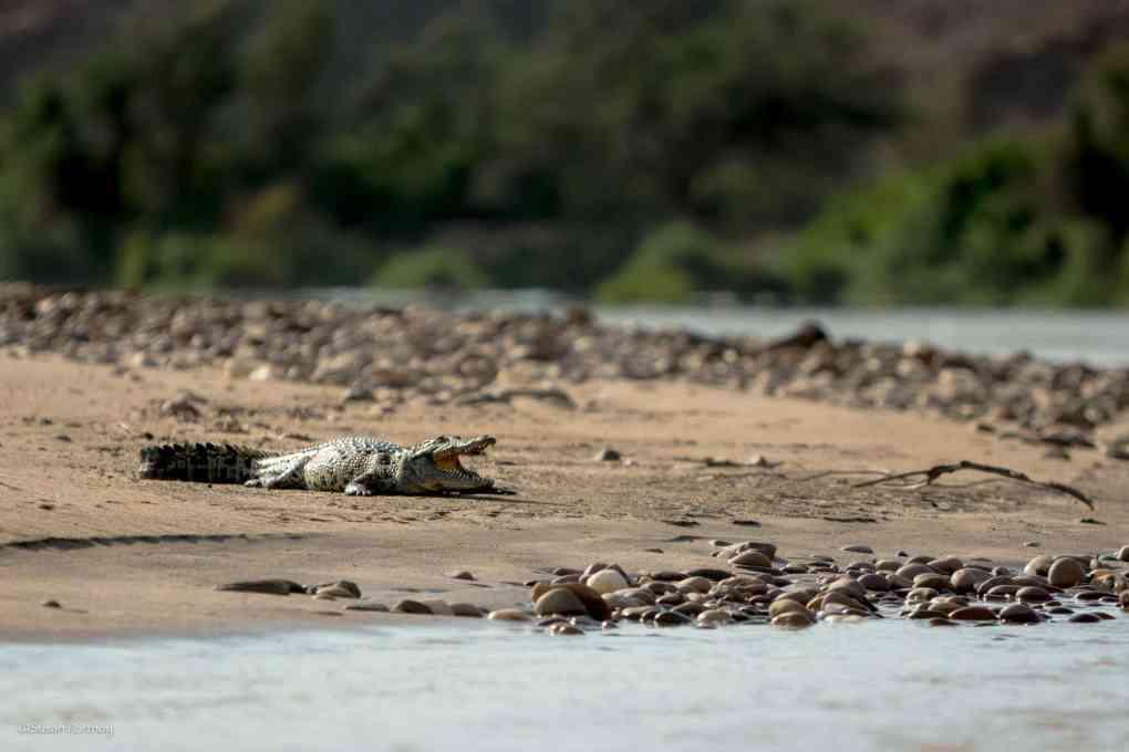 crocodile near serra cafema
