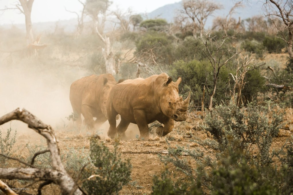 A white rhino chases another in Madikwe, South Africa