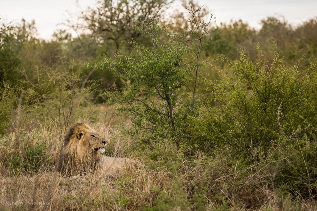 A beautiful male lion lounging in the grass in Madikwe