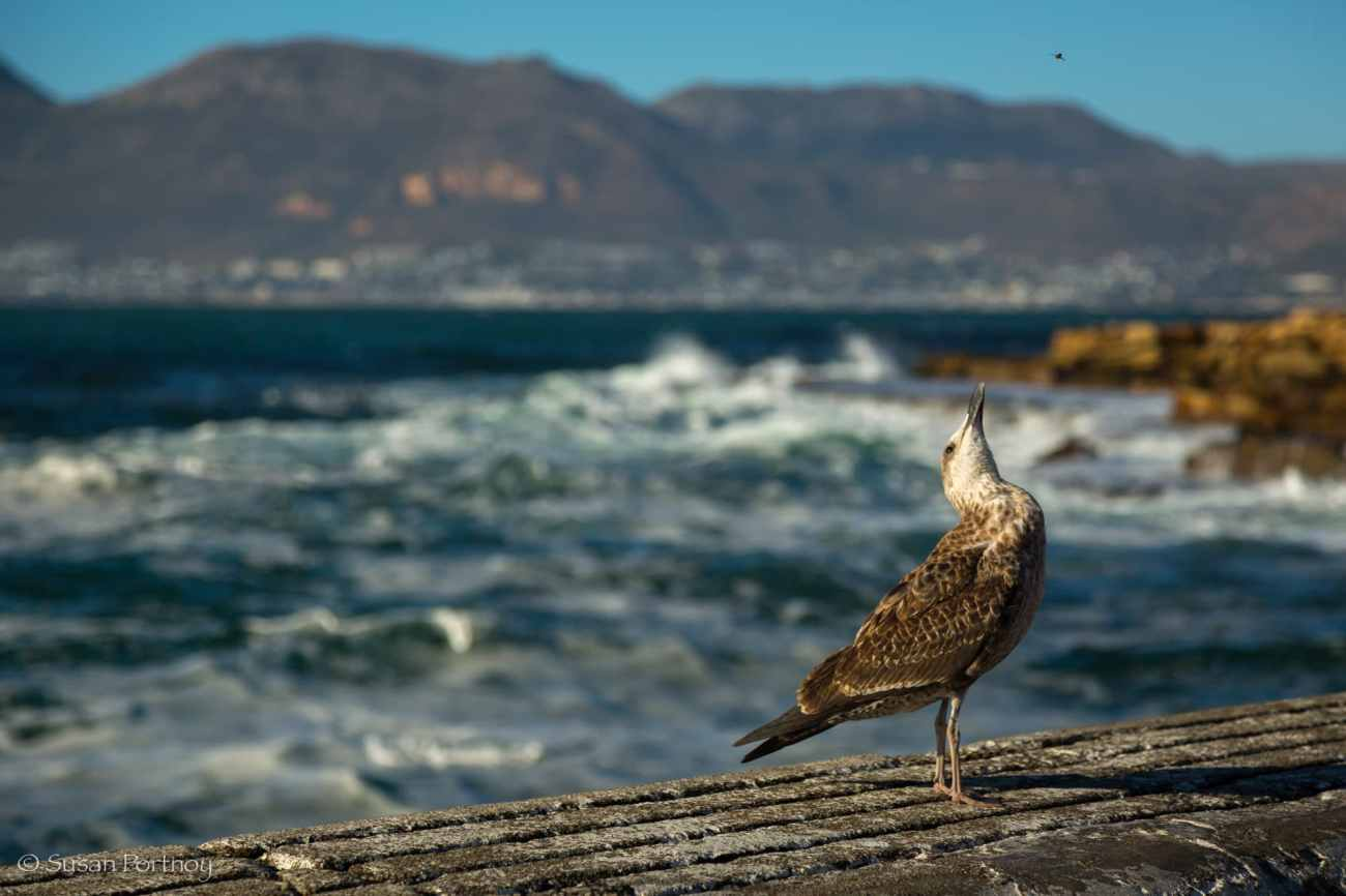 Seagull eyes a fly in Kalk Bay,South Africa