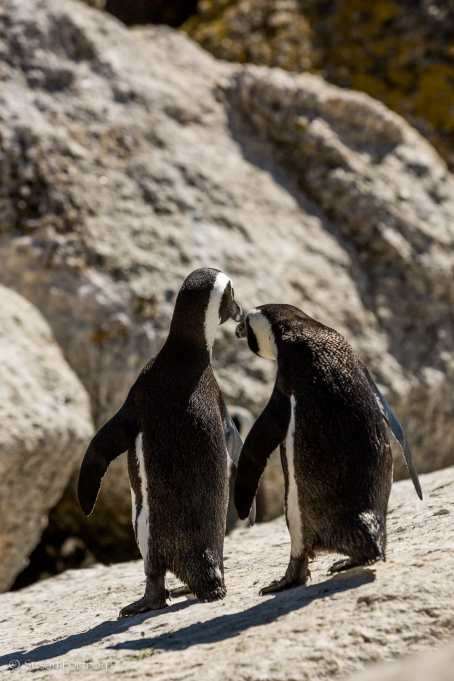 Two penguins take a stroll along boulders beach