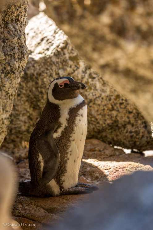 Pengin sitting amidst some rocks on boulders beach, cape town