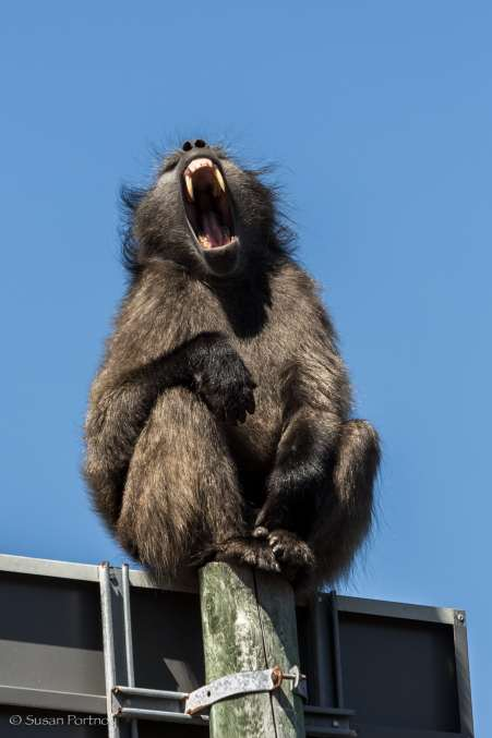 Baboon yawning in Cape Town