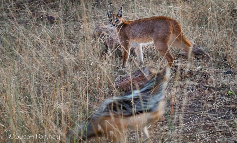 Photographing a caracal and black-backed jackal in the Masai Mara, Kenya