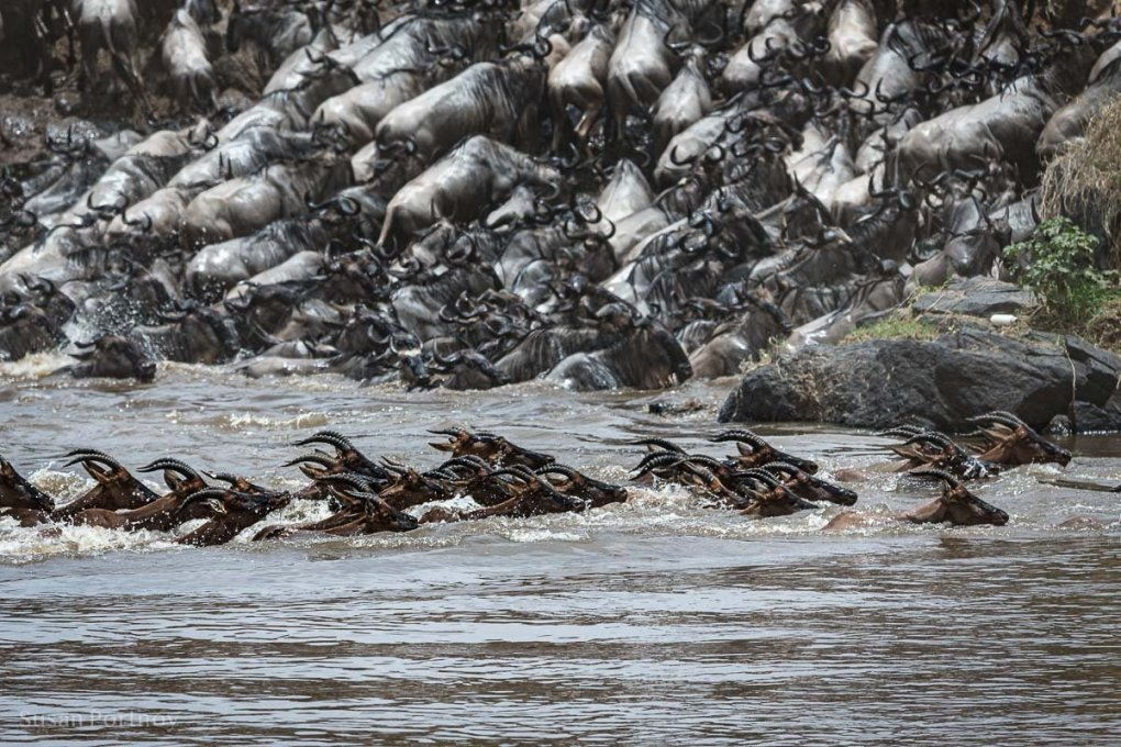 Topi swim across the Mara River