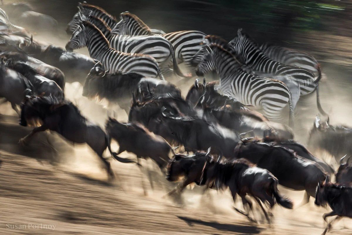 Wildebeest and zebra, spooked by who knows what, run from the edge of the water up a hill near the Mara River. Three minutes later they were back at the shoreline
