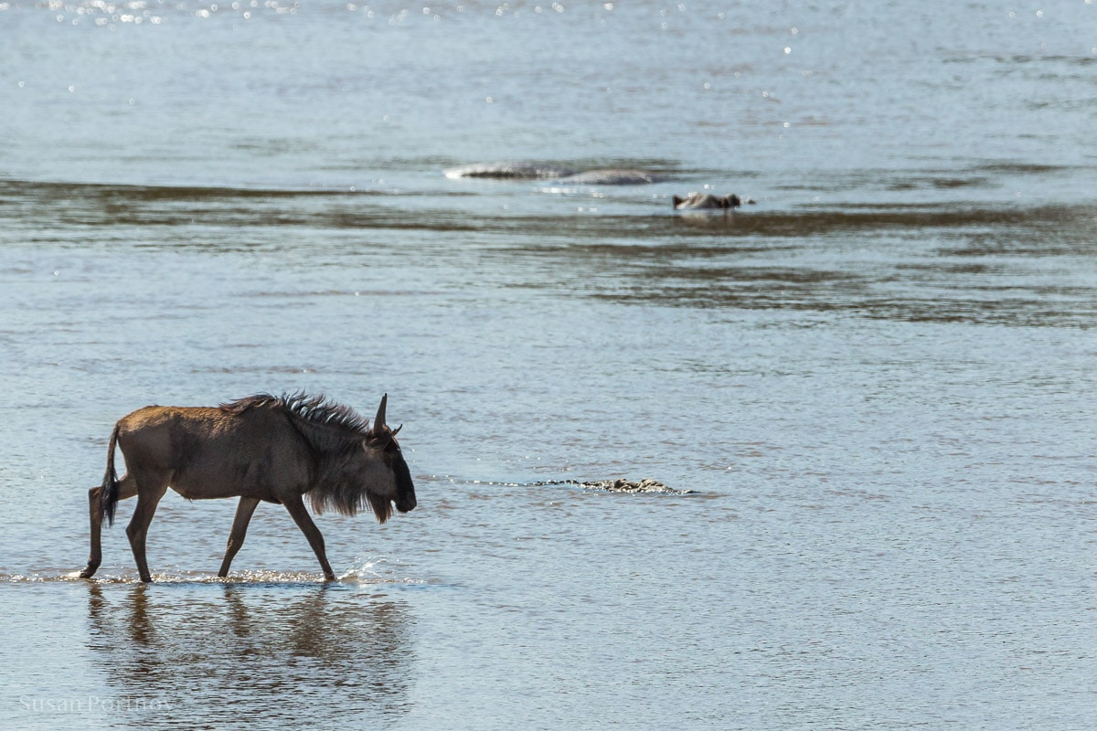 Lone wildebeest walks into the Mara River in Kenya