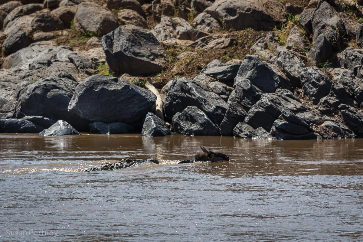Crocodile swims after wildebeest in Masai Mara, Kenya