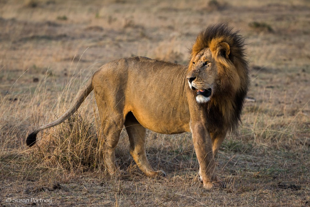 Photographing Lion in the Masai Mara, Kenya
