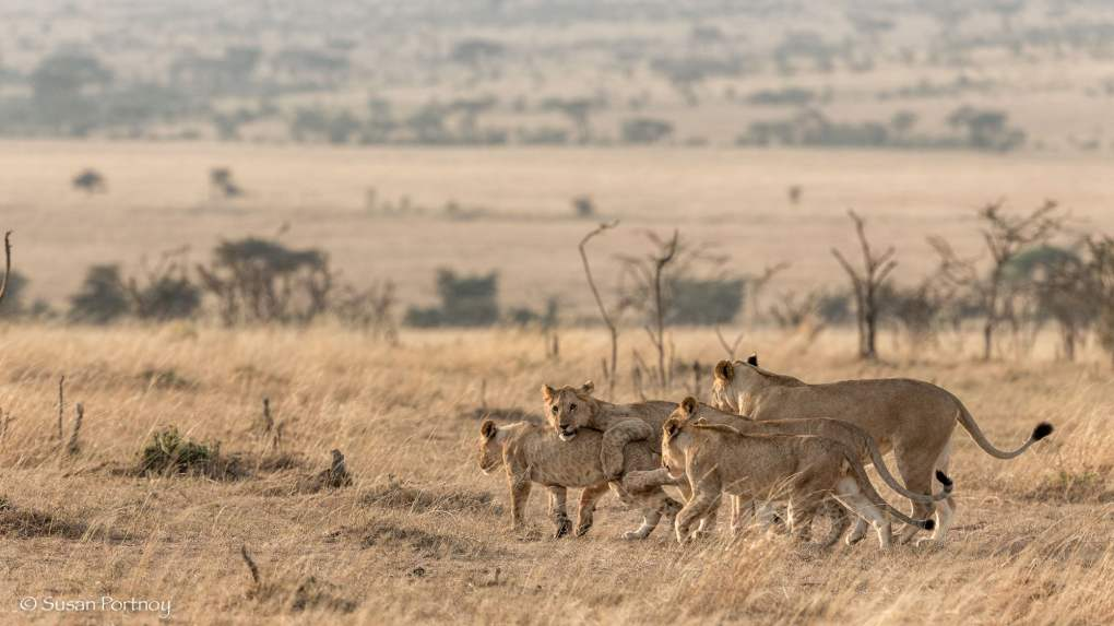 Photographing a lions playing in the Masai Mara, Kenya