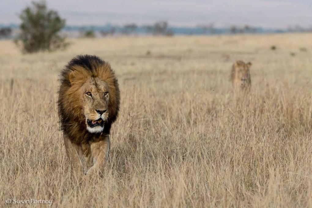 Photographing Lion walking in the Masai Mara, Kenya