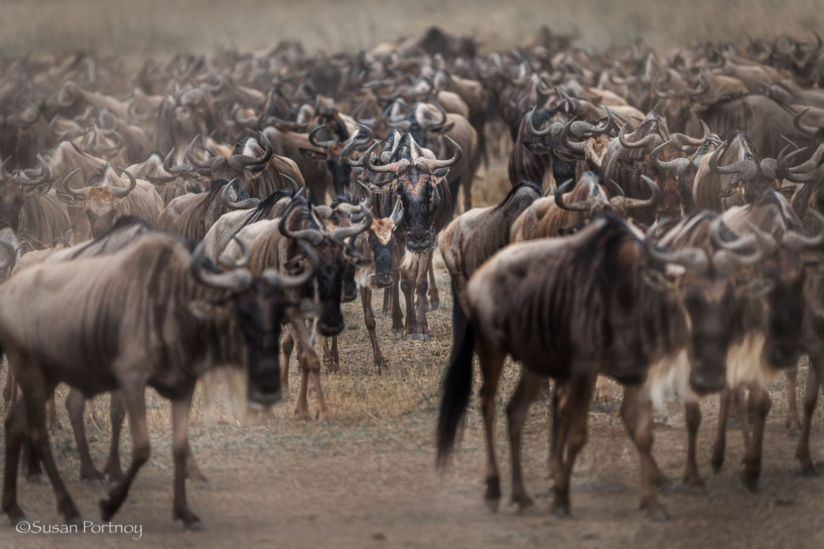 Wildebeest in big herd walking after a crossing, Masai Mara, Kenya