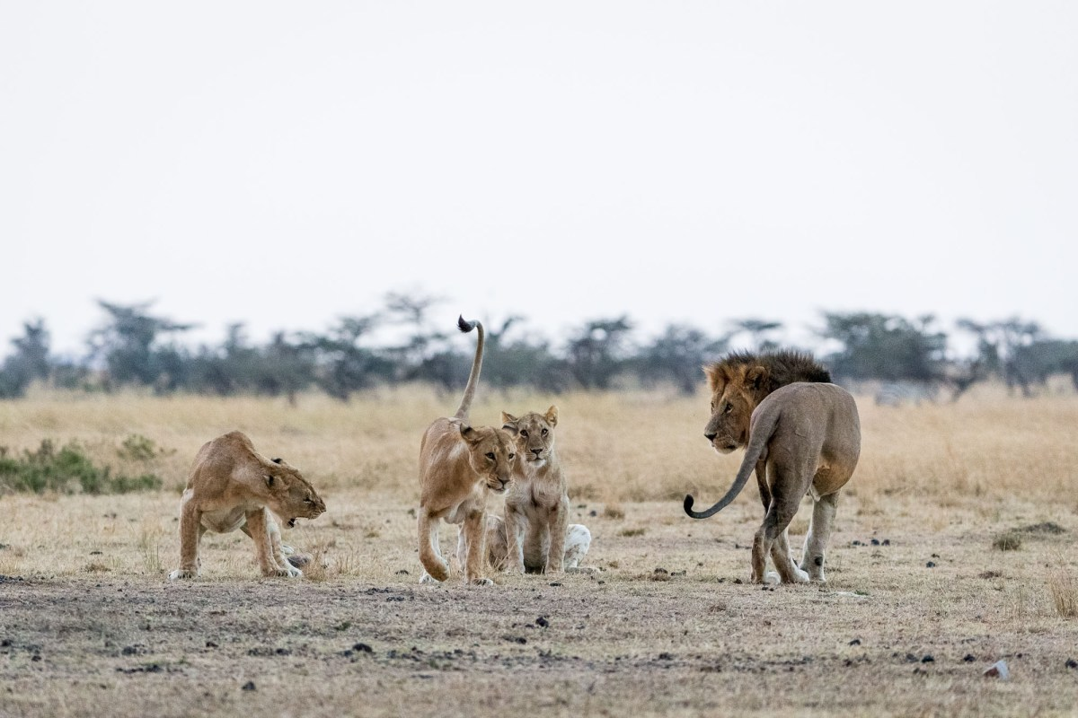 The Dance of Dominance and Submission Between Lions