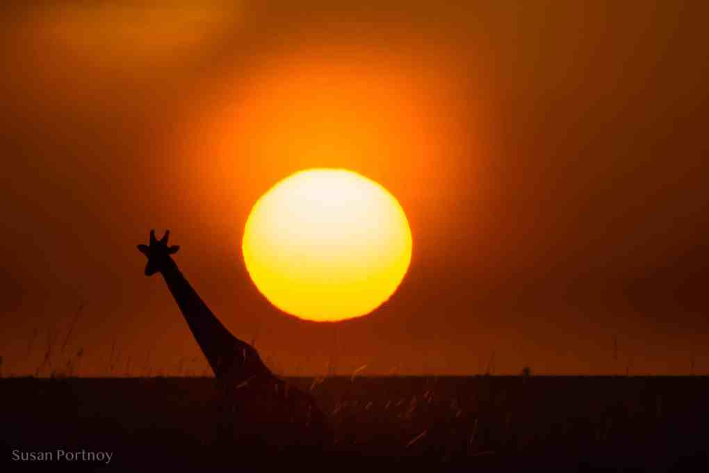 Giraffe silhouette in front of rising sun - Kenya Wildlife Safari_-201