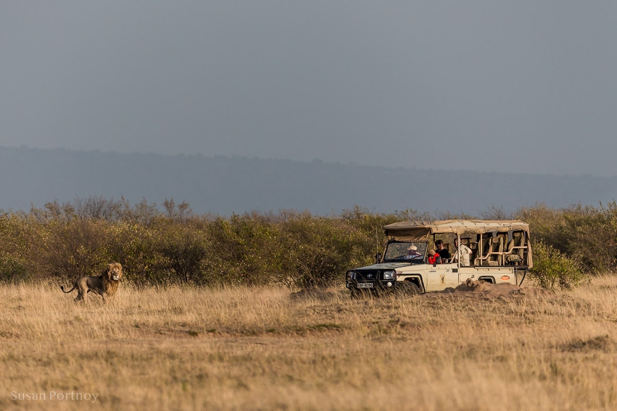 A lion in front of a safari vehicle in the Masa Mara - Kenya Wildlife Safari_-332301