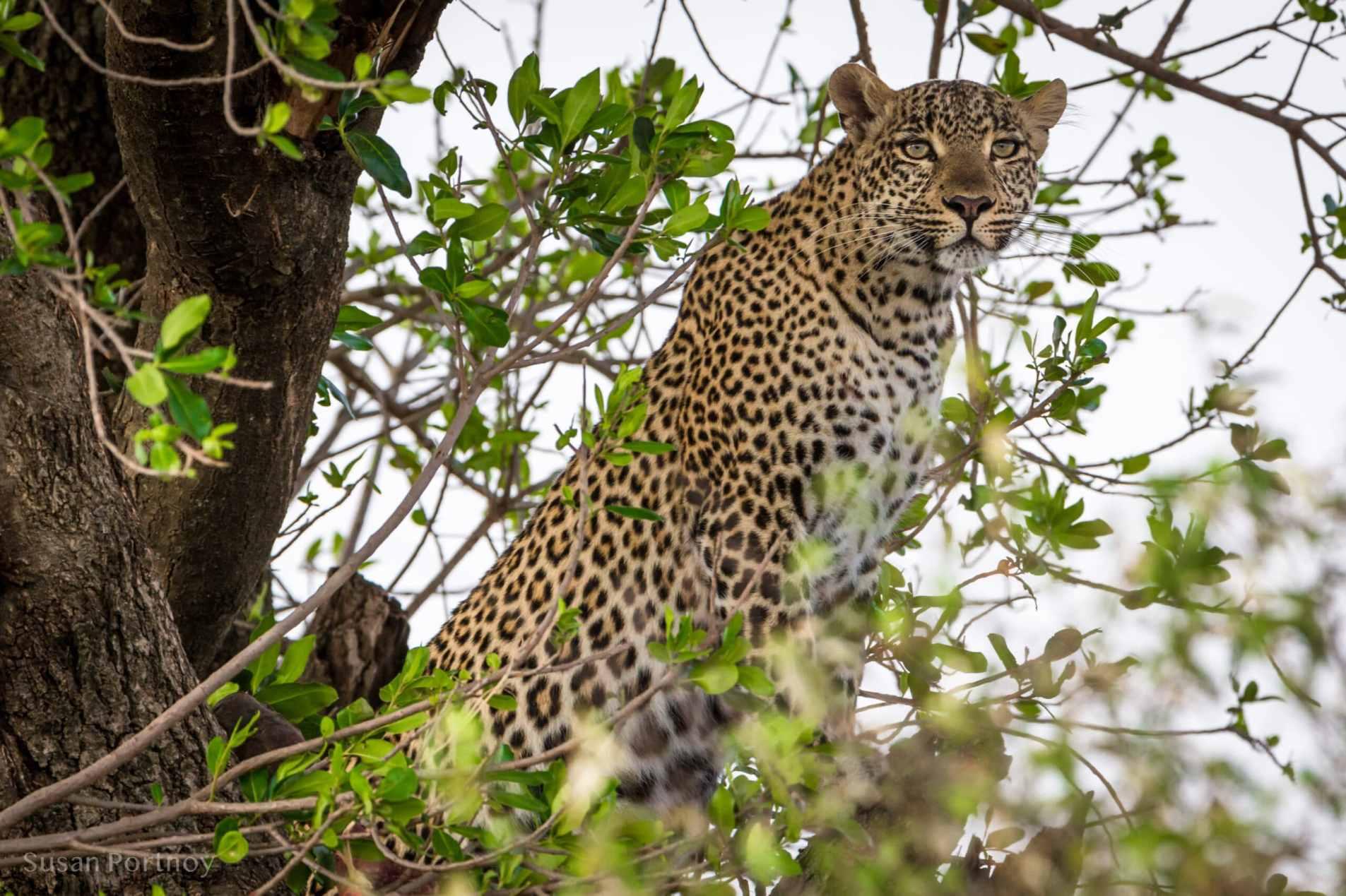 Leopard in a treel - Kenya Wildlife Safari_-373101