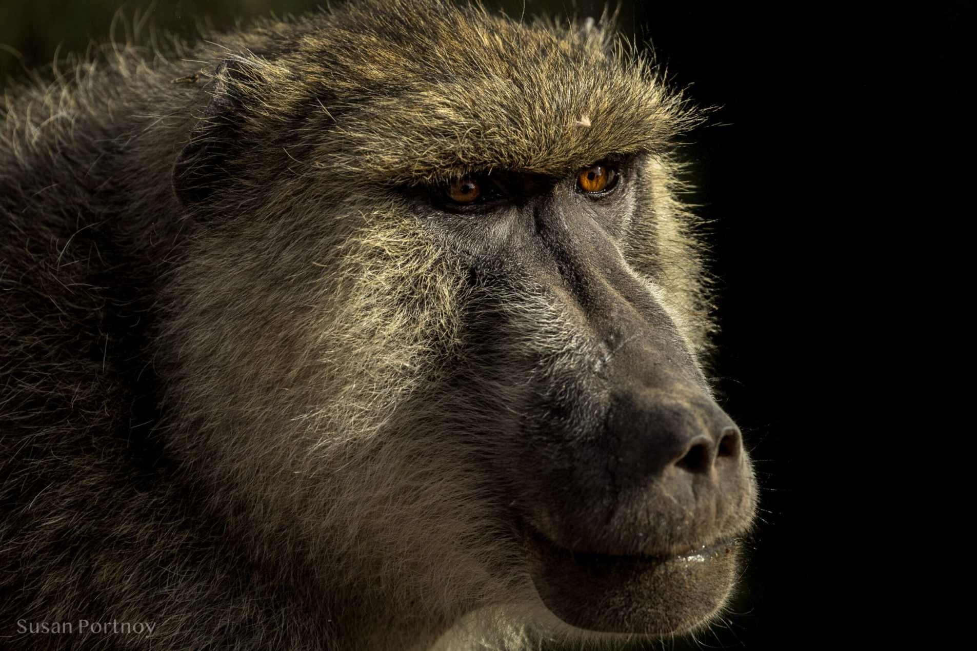 Baboon close up Kenya Wildlife Safari_