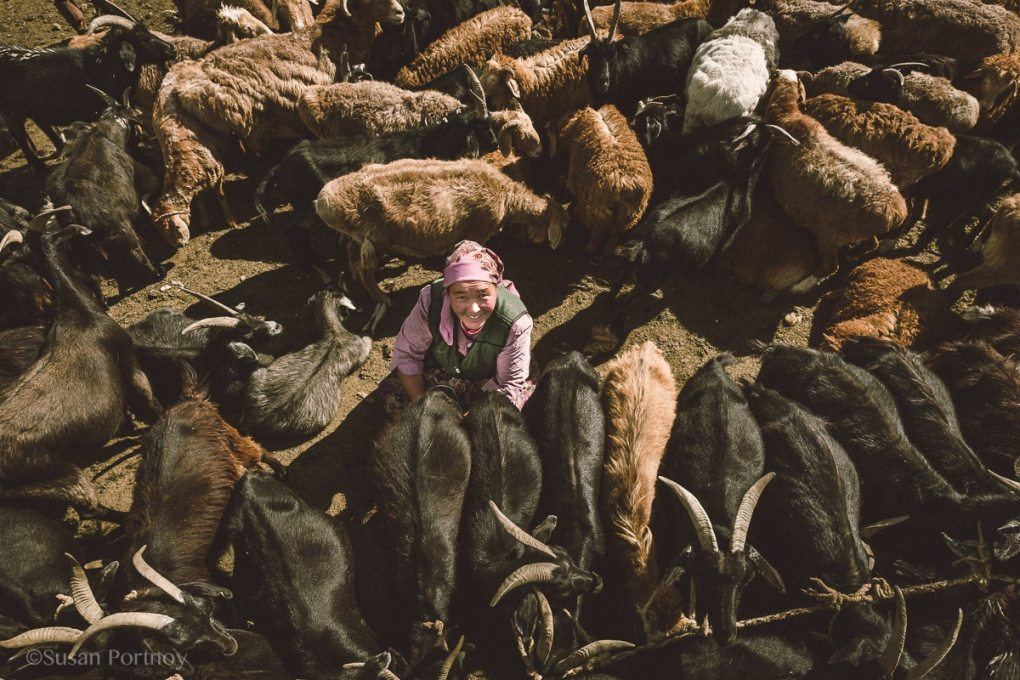 Kazakh woman milking goats in Mongolia. View from above