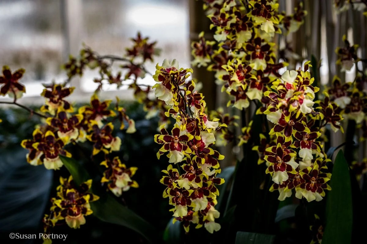 Visit the New York Botanical Garden for the Orchid show: Thailand