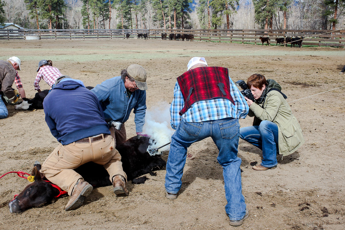 Susan Portnoy, the insatiable traveler, photographing a cow at a cattle branding at Triple Creek Ranch in Montana - The Insatiable Traveler