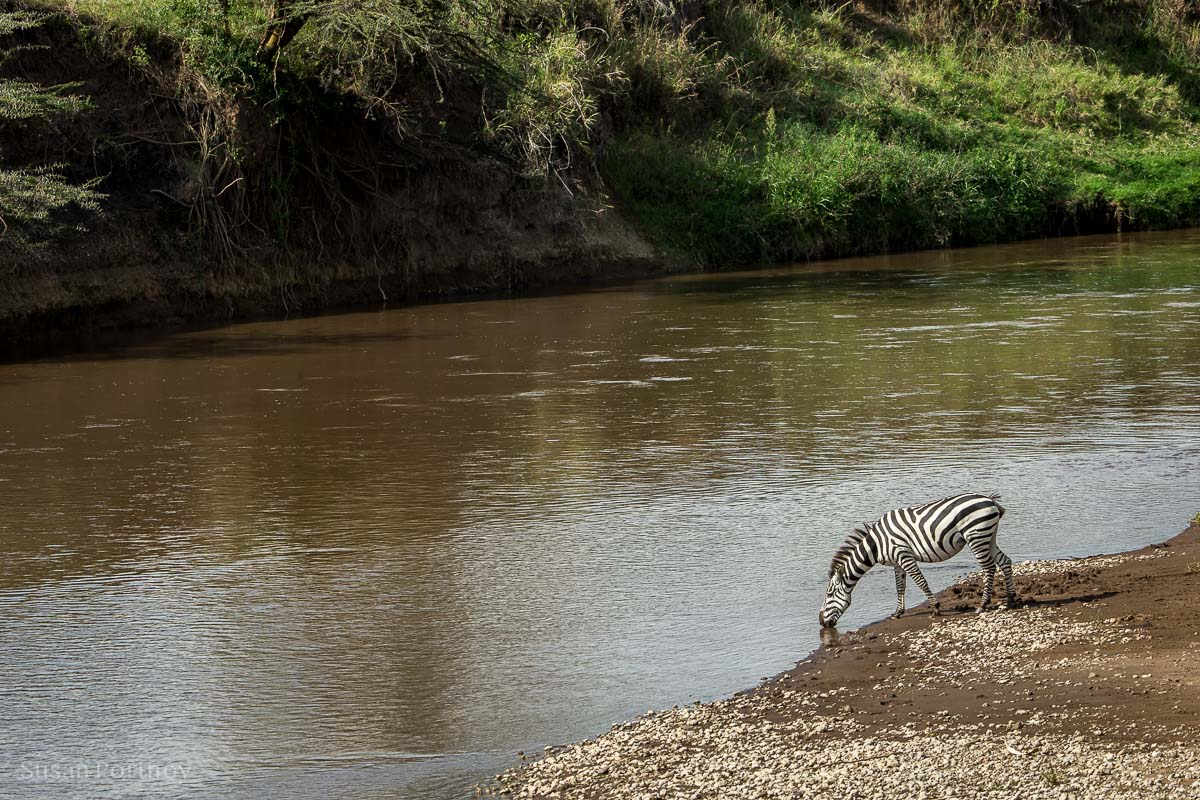 Zebra drinks water out of the Masa Mara River in Kenya