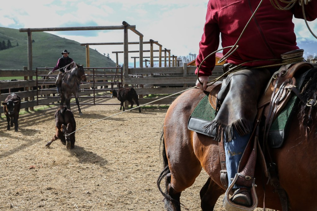 Cowboy ropes calf by the back legs at Triple Creek Ranch cattle branding - The Insatiable Traveler