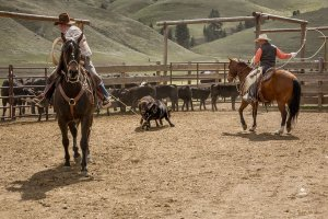 Cowboys' roping a calf for Triple Creek Ranch Spring Branding Day -
