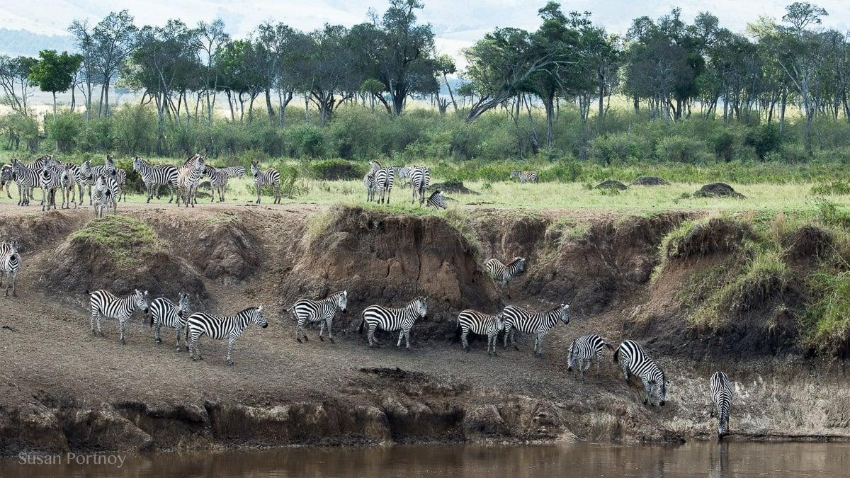 Zebra drink water out of the Masa Mara River in Kenya