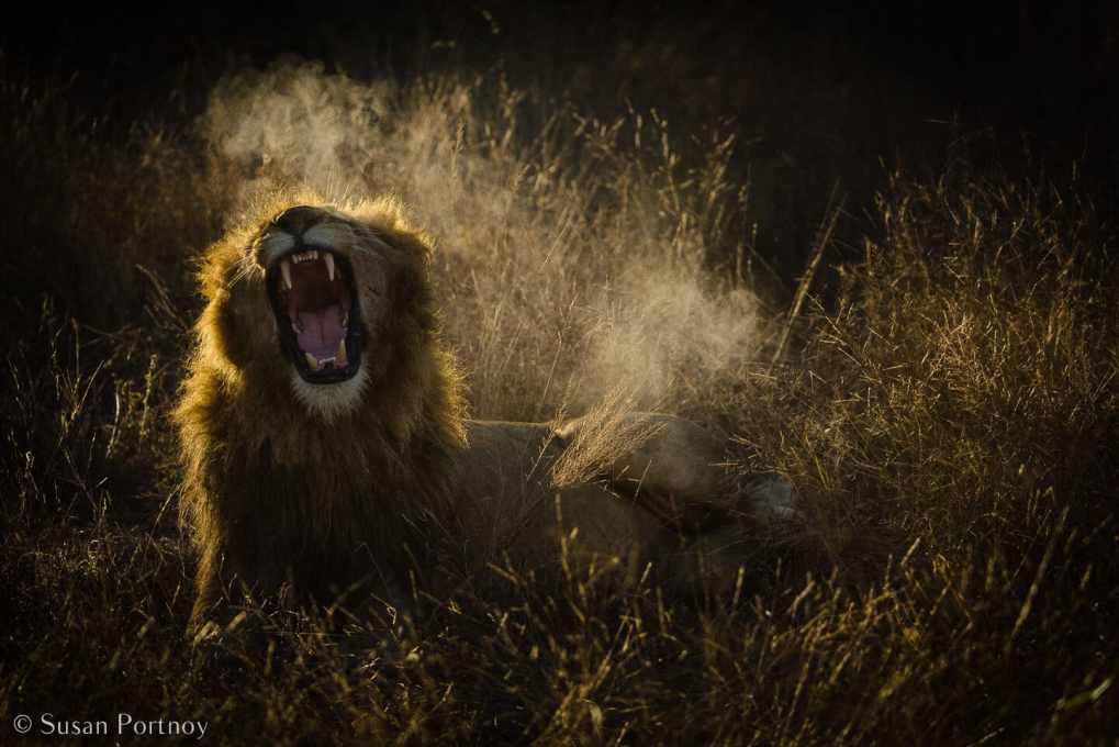 Tips for Taking Amazing Wildlife Photos on a Safari Adventure--Lion yawning at sunrise