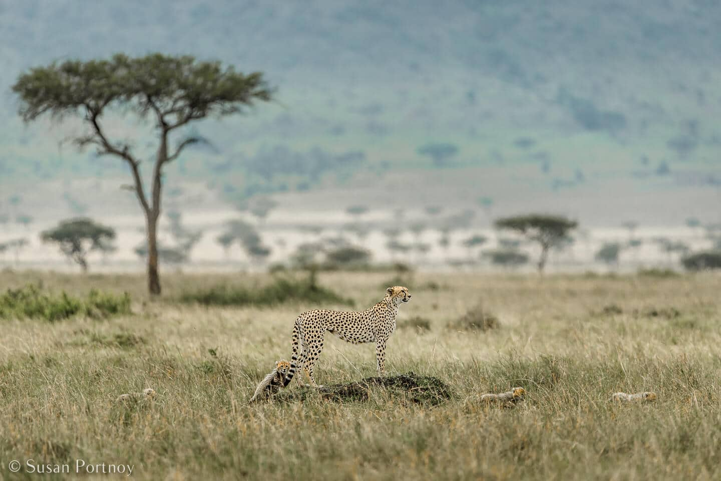Tips for Taking Amazing Wildlife Photos on a Safari Adventure--female cheetah and cubs on a mound in the Masai Mara