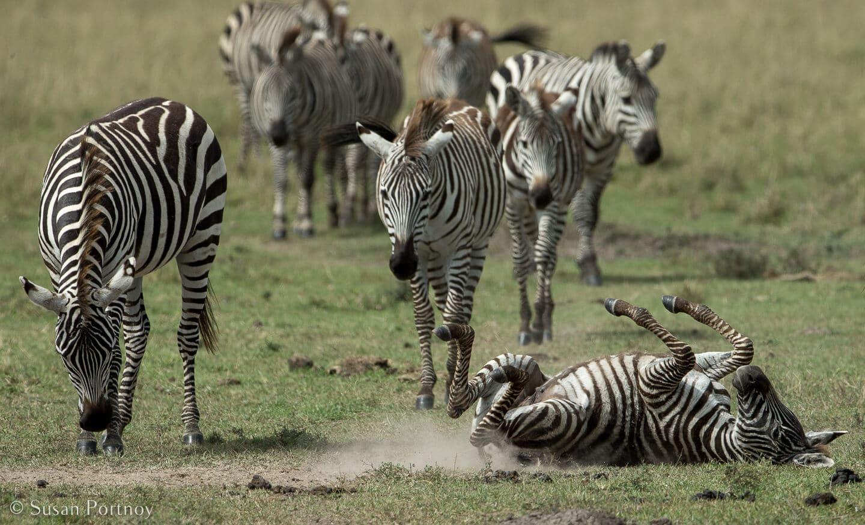 Tips for Taking Amazing Wildlife Photos on a Safari Adventure---zebra rolling in the Masai Mara in Kenya