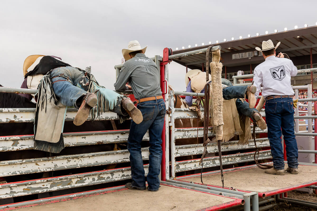 Cowboys fixing stirrups on their broncos before the rodeo