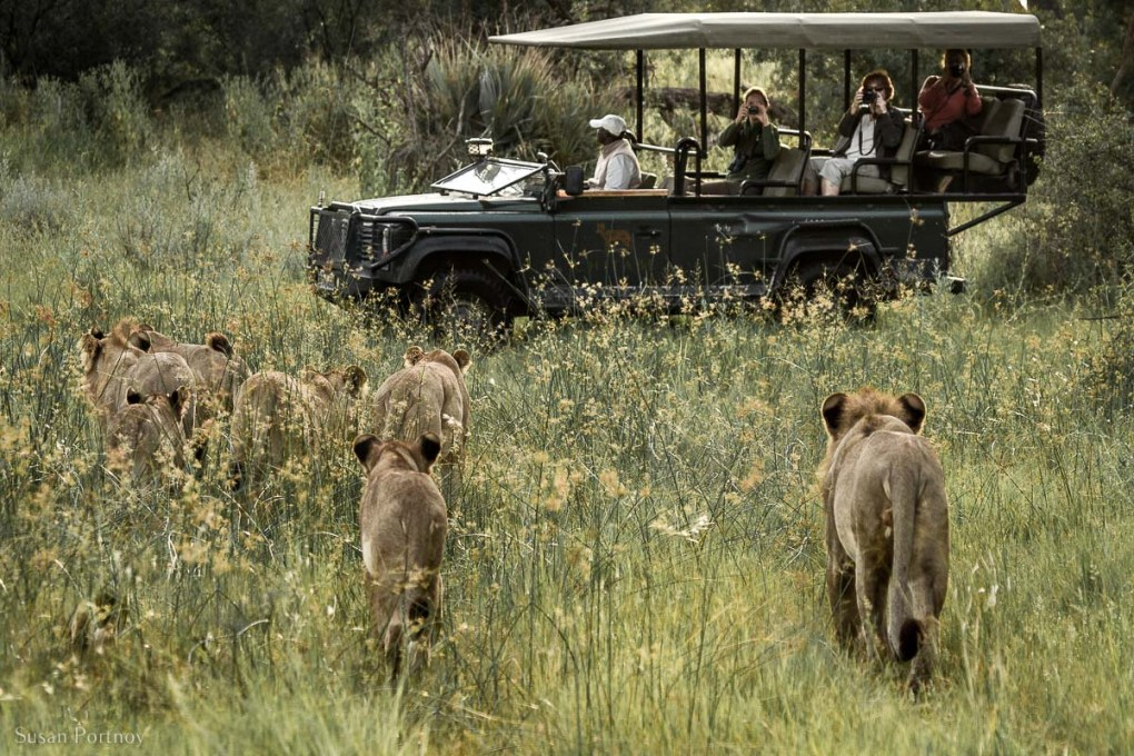 Lions walking toward a jeep with tourists , who are on an African safari, taking photos in Botswana