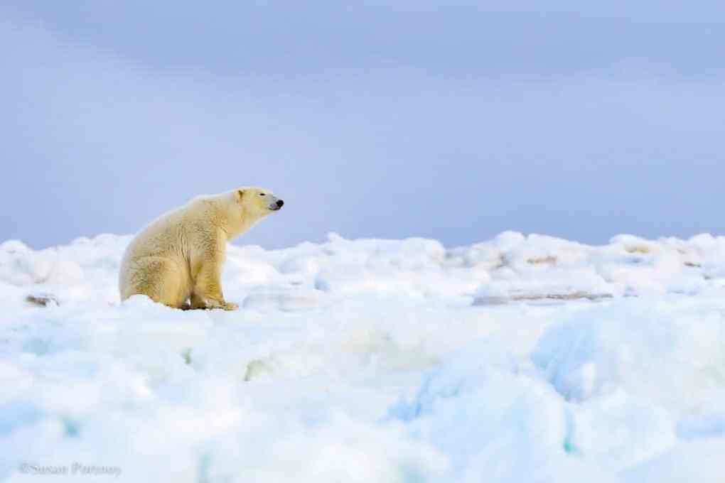 A Manitoba Polar Bear sitting on a frozen, snow-covered Hudson Bay.