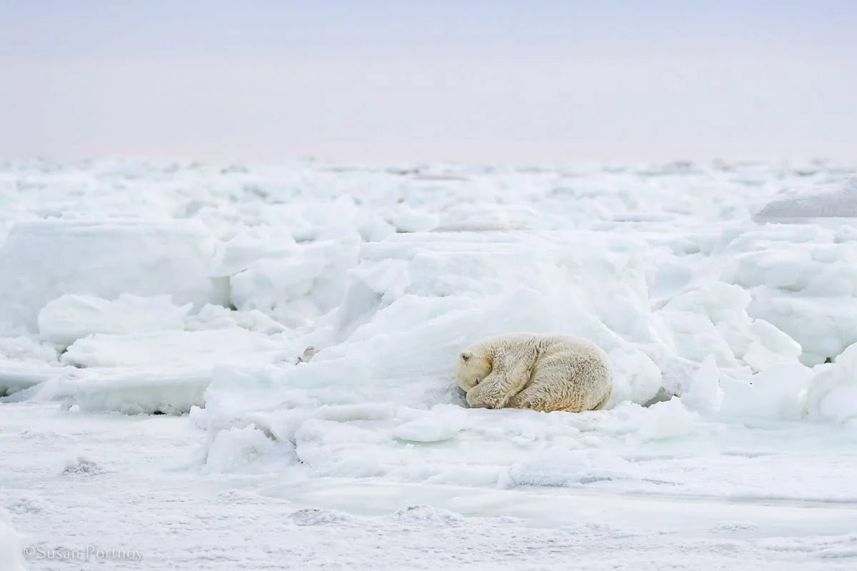 Radio Bear bedding down for the day | What it's like to be on Canada's only Walking Polar Bear Photo Safari