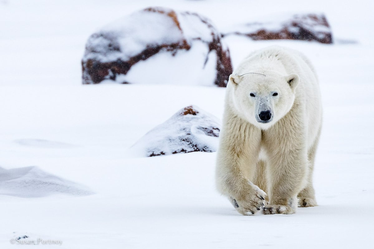 Radio Bear | What it's like to be on Canada's only Walking Polar Bear Photo Safari