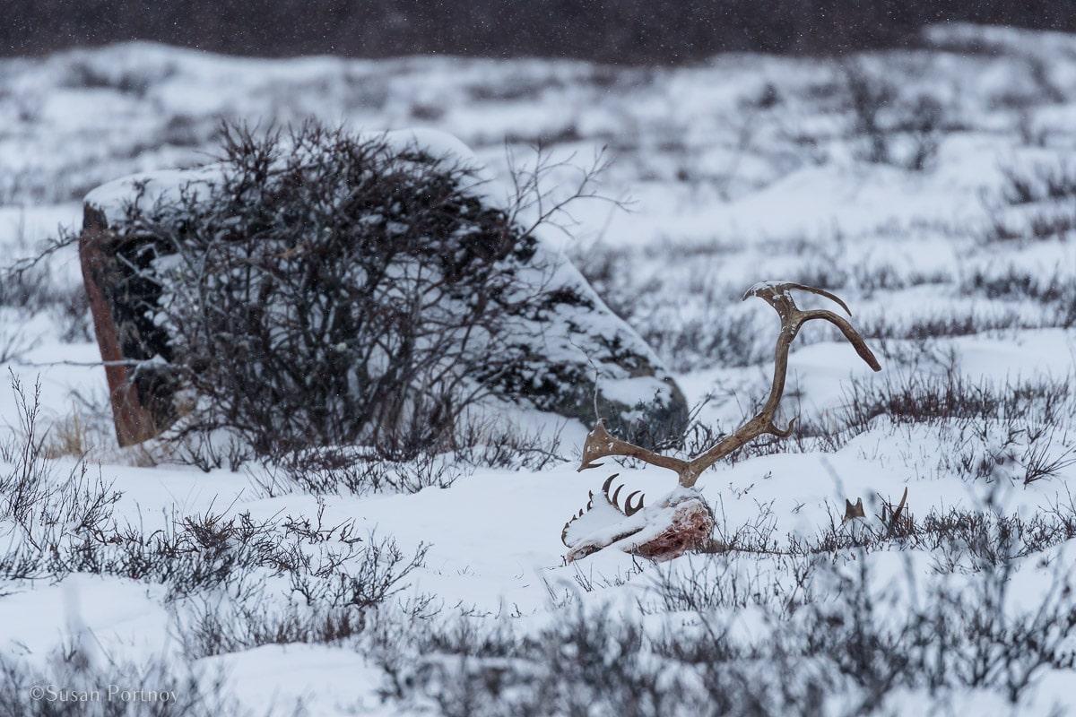 Caribou antlers | Canada's Walking Polar Bear Photo Safari -Seal River Heritage Lodge-Manitoba -103936