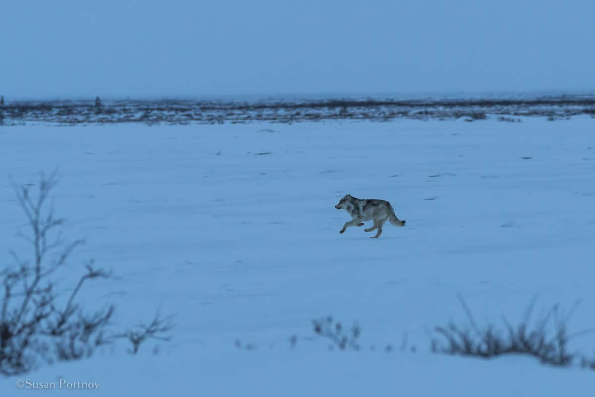 Wolf running across upper Swan Lake | What it's like to be on Canada's only Walking Polar Bear Photo Safari