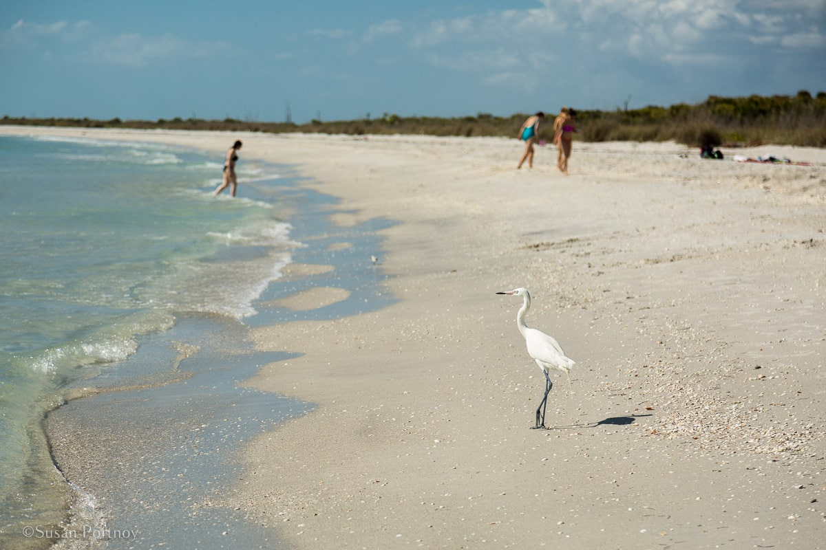 Egret on Cayo Costa Beach - Insatiable Traveler Year -end review 2017-