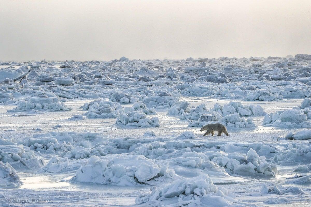Polar Bear | Canada's Walking Polar Bear Photo Safari -Seal River Heritage Lodge-Manitoba