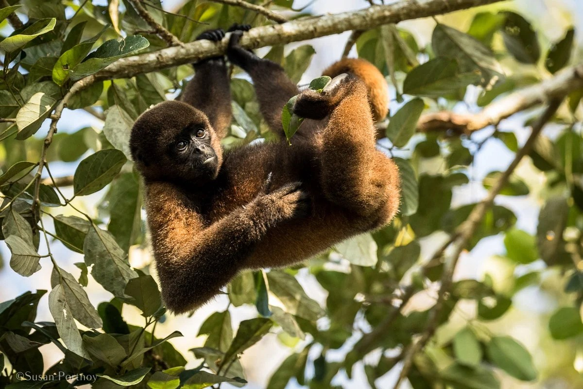 Wooly Monkey in a tree | Amazon River Cruise Peru -International Expeditions-07