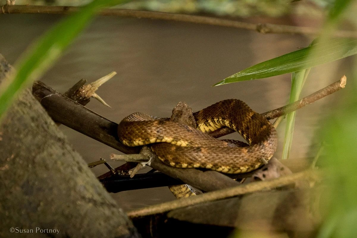 Fer-de-lance under a tree | Amazon River Cruise Peru -International Expeditions-36