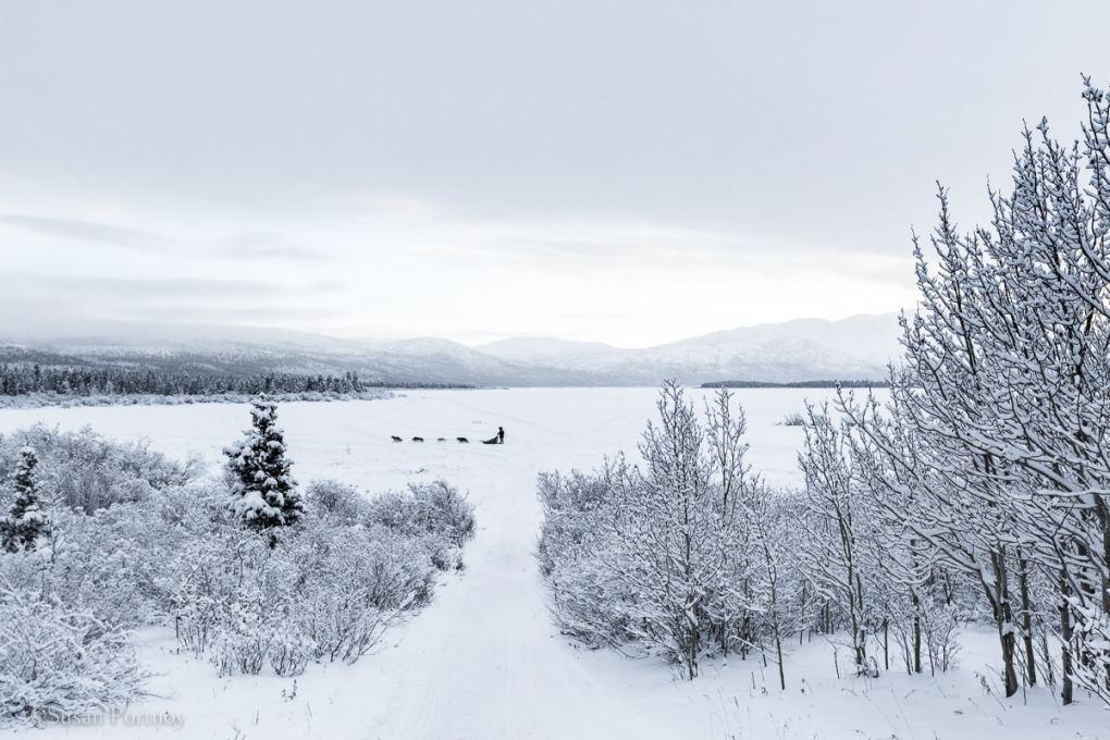 musher dog sledding across a lake in Whitehorse, Yukon
