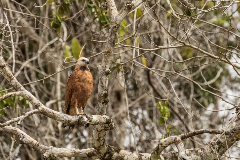 Black-collared Hawk | Amazon River Cruise Peru -International Expeditions-0280