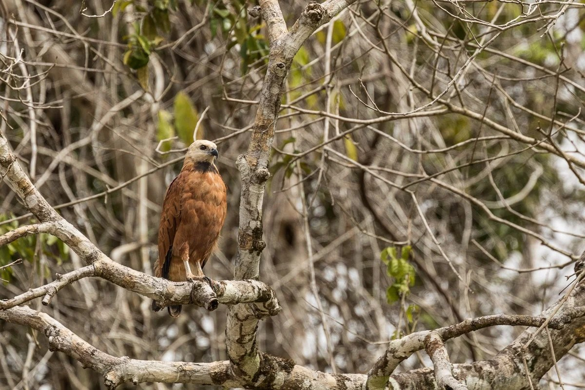 Black-collared Hawk | Amazon River Cruise Peru -International Expeditions-0280
