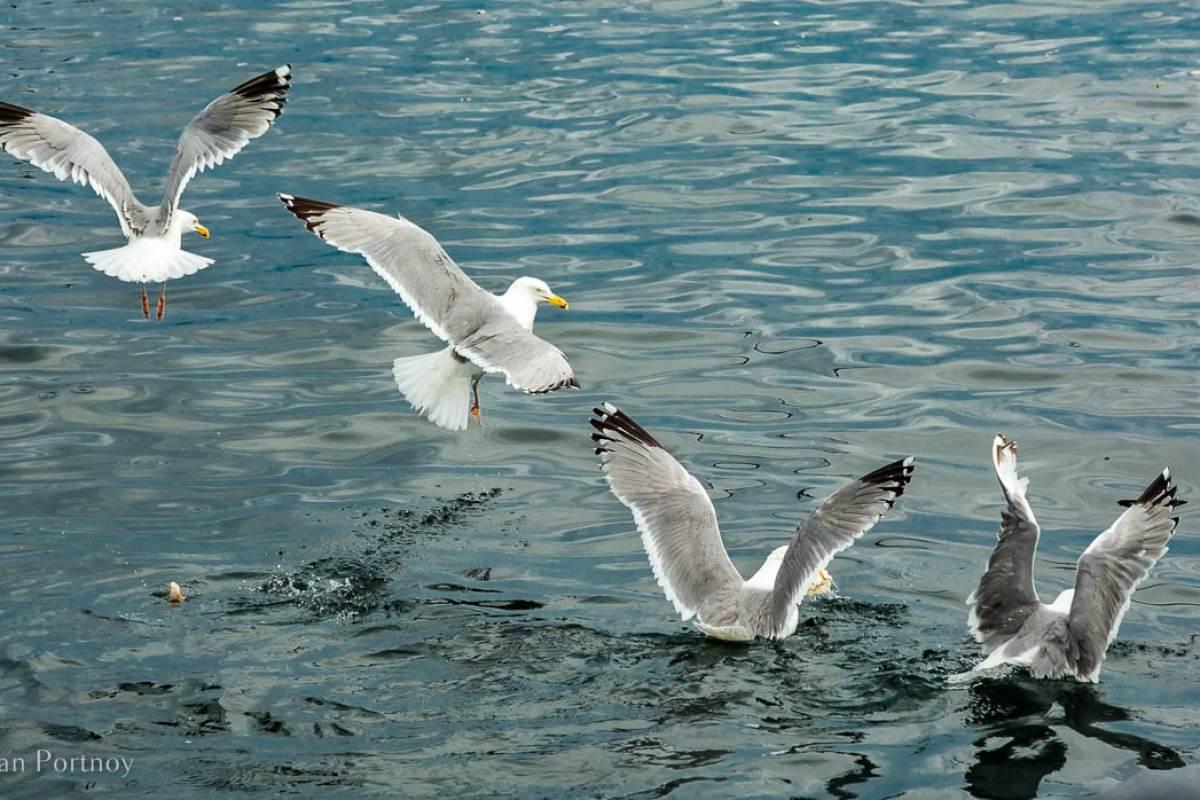 Seagulls fishing near the J & E Riggin - Windjammer Cruise in Maine -711820180706